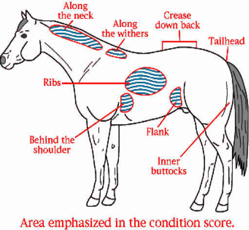 Is My Horse Too Fat or Too Thin? - Body Condition Scoring Scale | Vita Flex